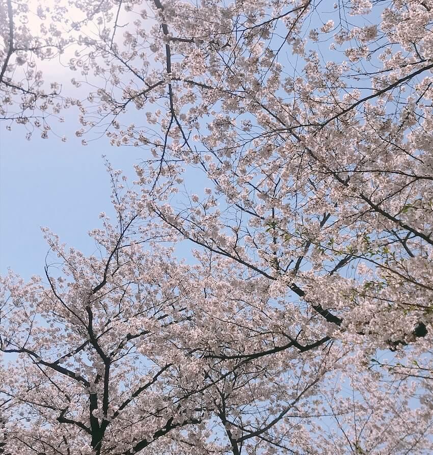 平成最後のお花見 青山霊園 外苑前店近く02