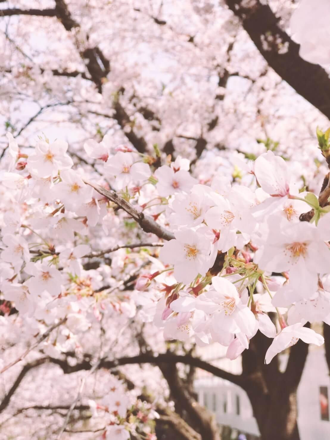 桜 お花見 東京